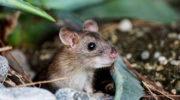 Как избавиться от мышей в доме: 5 способов