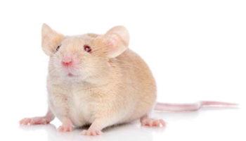 Чем кормить декоративную крысу в домашних условиях?