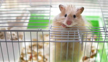 Уборка в доме грызуна: как убирать клетку хомяка?