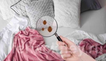 Как самостоятельно избавиться от постельных клопов?