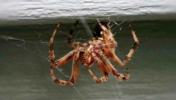 Как избавиться от пауков в доме народными средствами