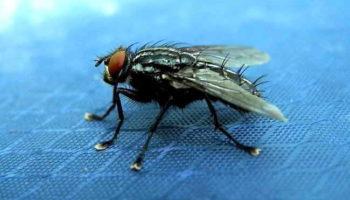 Как избавиться от мух в квартире: способы борьбы с мухами