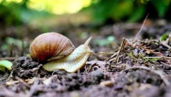 Как избавиться от улиток и слизней в огороде: 5 экологичных способов