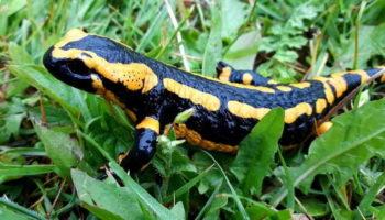 Саламандра – внешний вид, потребности, характеристики. Что стоит знать?