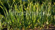 Чем подкармливать лук, чтобы стимулировать его рост