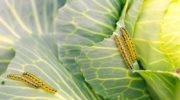 Избавляемся от гусениц на капусте без химии
