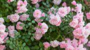 Осенний уход за розами