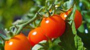 """Метод Казарина – """"сухой закон"""" для томатов"""