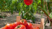Полезные добавки, чтобы помидорчики были крупными