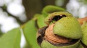 Орешек от орешка_ осенний способ выращивания грецкого ореха из плодов