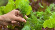 Урожай укропа за 3 дня — секрет в замачивании перед посадкой
