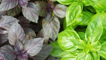 Виды и сорта зелени, подходящие для выращивания в домашних условиях