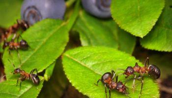 Муравьи на плодовых деревьях и кустах: как избавиться