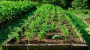 Морковная грядка: основные 9 ошибок огородников