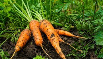 Как вырастить крупную и сладкую морковь: полезные советы