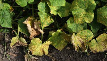 Пожелтение листьев огурцов: причины, способы борьбы и профилактика