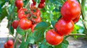 Размножение томатов при помощи черенкования