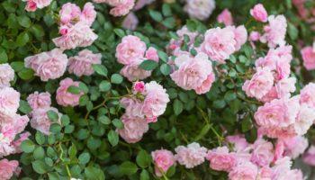 Виды почвопокровных роз, которые украсят каждый приусадебный участок