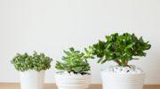 Как правильно пересаживать денежное дерево, чтобы оно хорошо росло и привлекало в дом богатство