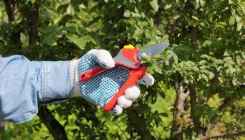 Осуществляем летнюю обрезку семечковых и косточковых деревьев