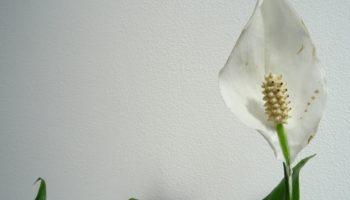 Спатифиллум — цветок, который приносит женщинам счастье, и как его вырастить