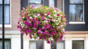 Как вырастить пышные «шапки» цветущей петунии в вазоне, кашпо или ящике: даю пошаговое описание процесса