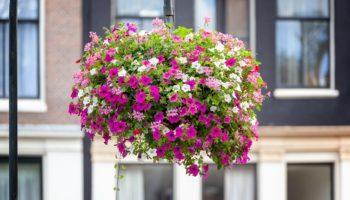 Что нужно для обильного цветения петуний
