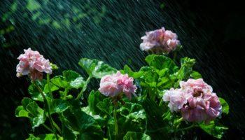 Как приготовить домашние удобрения для обильного цветения пеларгоний