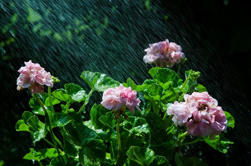 Размножаем Герань легко и просто: рассказываю про способы получения новых растений в домашних условиях