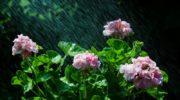 Как я добилась обильного цветения от своей пеларгонии — делюсь секретами, которые мне помогли