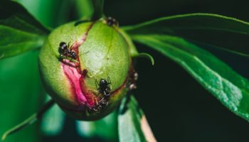 Чем опасны муравьи на пионах и как от них избавиться?