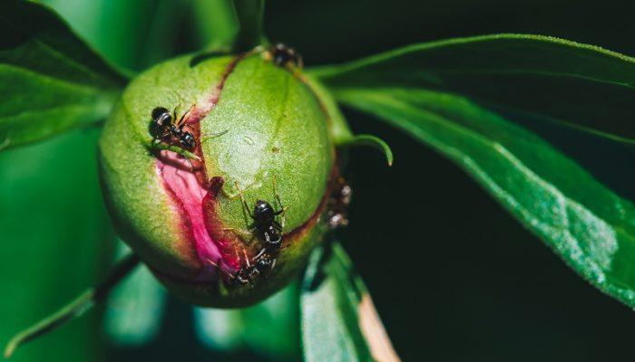 Садовые муравьи: эффективные методы борьбы