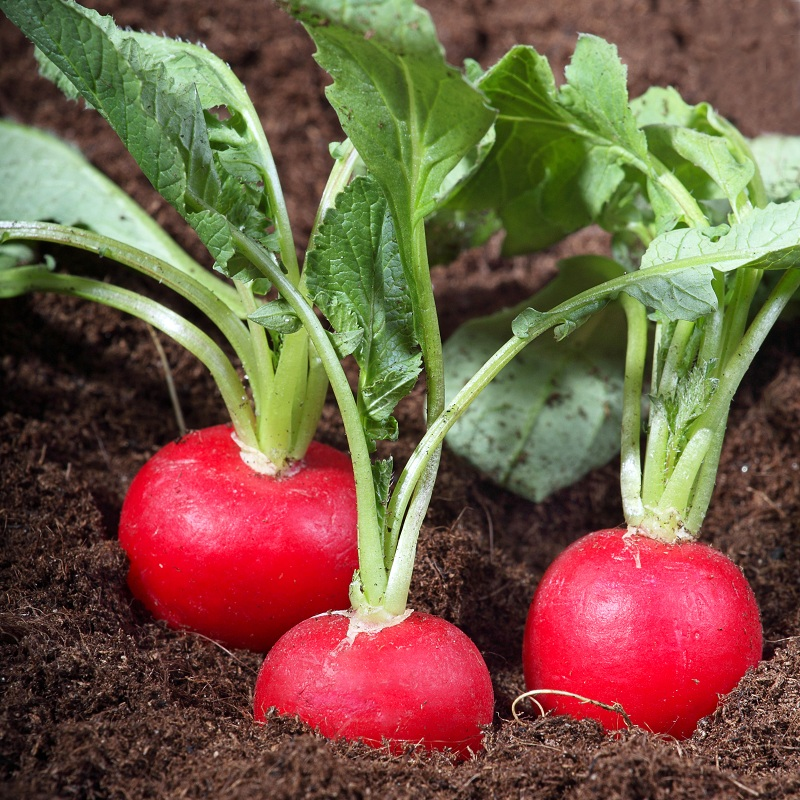 Когда посадить редиску в теплицу в 2020 году, чтобы получить ранний урожай
