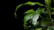 Драцена: простая и легкая процедура обрезки для улучшения декоративности цветка