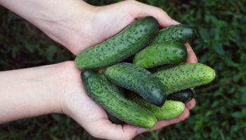 Натуральные подкормки огурцов: три этапа подкормки