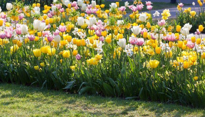 Лайфхаки для пышного цветения тюльпанов