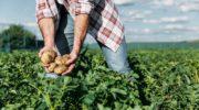 Для большого урожая картошки: уход и выращивание