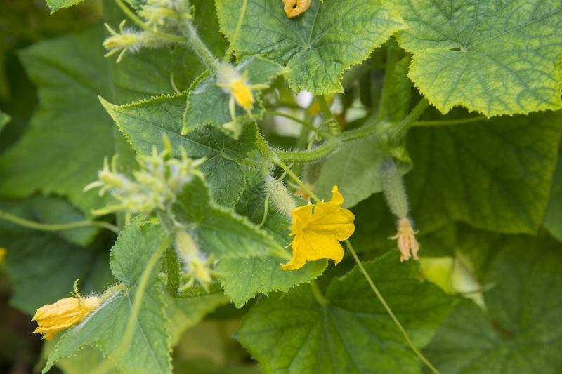 Уход за огурцами: вредит ли удаление «усиков» растениям