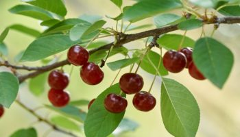 Как выбрать удобрения для косточковых деревьев