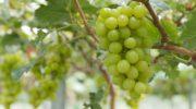 Когда и как правильно прорастить черенки винограда