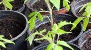 Рекомендации по выращиванию рассады в чайных пакетиках