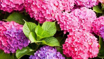 Как правильно посадить и вырастить гортензию в саду или на даче