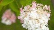 Выращивание метельчатой гортензии из кружки