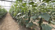 Как сохранить огуречные посадки здоровыми и невредимыми — рассказываю про борьбу с вредителями
