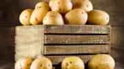 Выращиваем картофель: лучшие сорта для огородников России