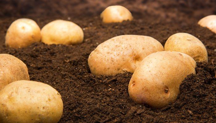 Как удобрить поле осенью, чтобы получить хороший урожай картофеля