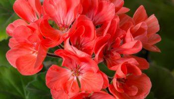 1 капля йода, чтобы герань всегда радовала цветением