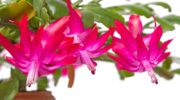 Подкормка декабриста для обильного цветения зимой