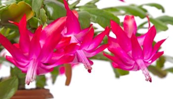Хорошие и плохие суеверия о кактусе по имени Декабрист
