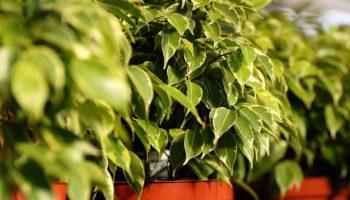 Фикус Бенджамина: как ухаживать за растением в домашних условиях